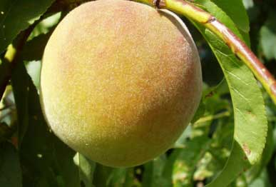 Peach fruit plants